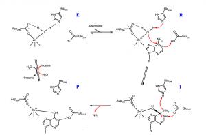 Mechanism of reaction of adenosine deaminase
