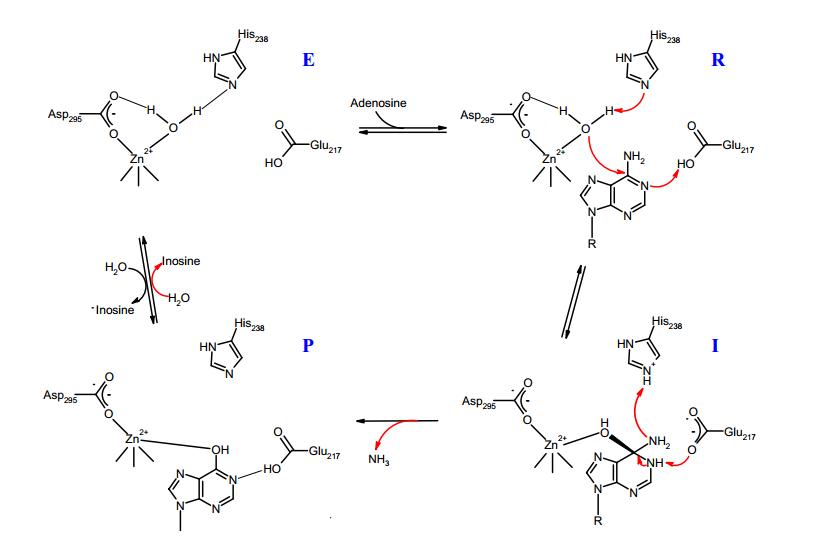 mechanism of reaction of adenosine deaminase boc sciences blog