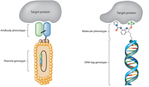 Schematic representation of antibody phage display libraries and of DNA-encoded chemical libraries.